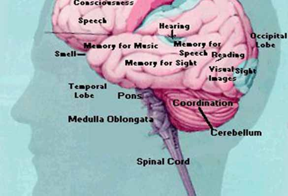 parts of your brain