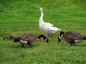 White Canada Goose walking with other geese