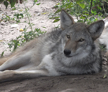 Coywolf laying on the ground