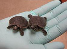 Two baby turtles held in a hand