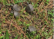 Baby turtles crawling through grass