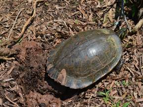 Myrtle the Turtle laying eggs