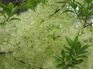 Fringe Tree closeup