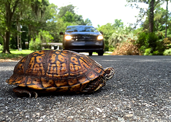 Box turtle in the road with a car in the background