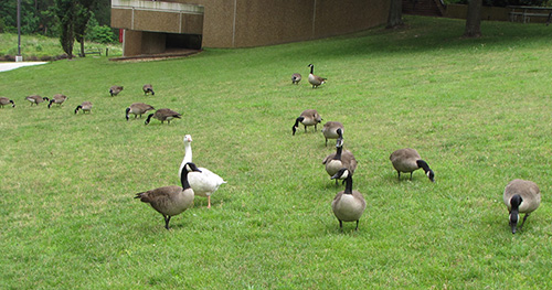 Canadian Geese on NIEHS lawn