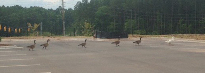 Canadian Geese walking across parking lot