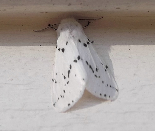 Fall webworm developed into adult moth