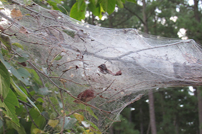 Fall webworms web in a tree