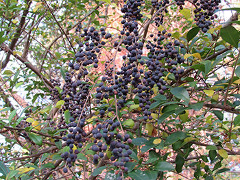 Ligustrum (privet) berries on the NIEHS Campus