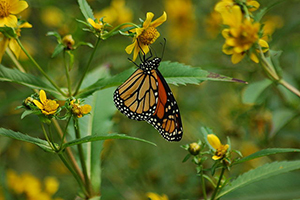 Monarch butterfly on migration