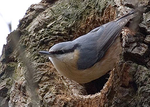 Nuthatc perches outside of nest