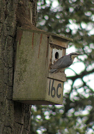 Nuthatch perched outside of house