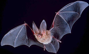 Big-eared Townsend bat