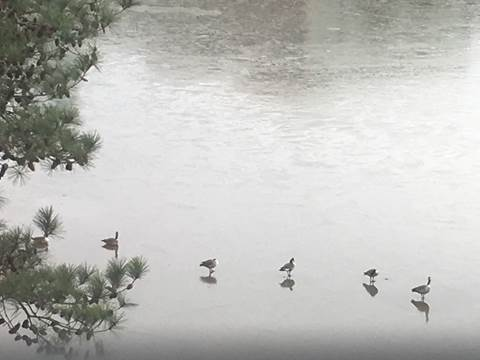 Geese walking on frozen lake