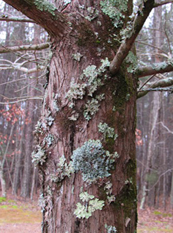 Several lichen growth forms can live side by side on the same object. Over 1000 fungi and algal associations have been recognized in North Carolina. They are not parasitic but rather use the tree as a staging area.