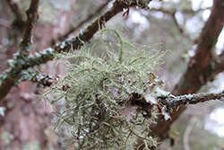 Even the small limbs are adorned with fruticose lichens.