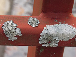 Lichen needs solid attachments to bond to, such as the railing of Bridge #1 on campus.