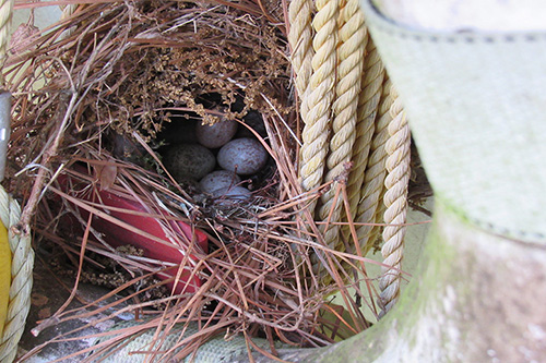 Cowbird eggs laying in a nest