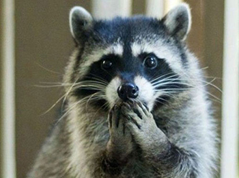 raccoon with both paws over mouth