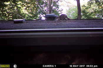 raccoon on rooftop
