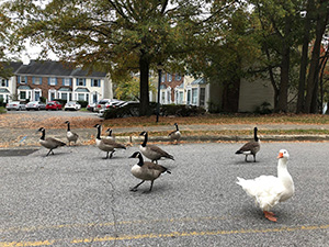 Geese in Chapel Hill