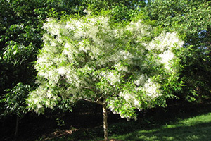 fringe tree in spring