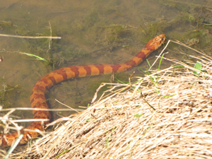 red-brown norther water snake
