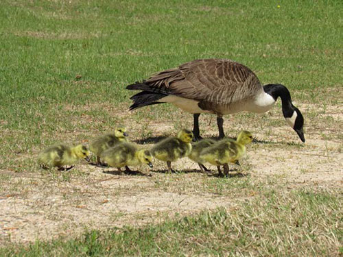 Newly hatched goslings take their first steps with Mother