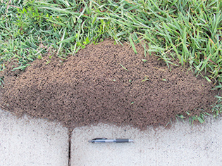 well-formed ant mounds on NIEHS campus