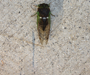 cicada with wings