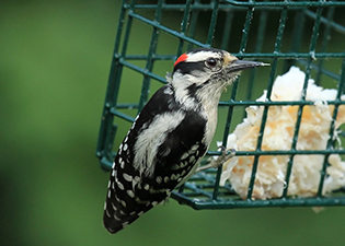 woodpecker with food