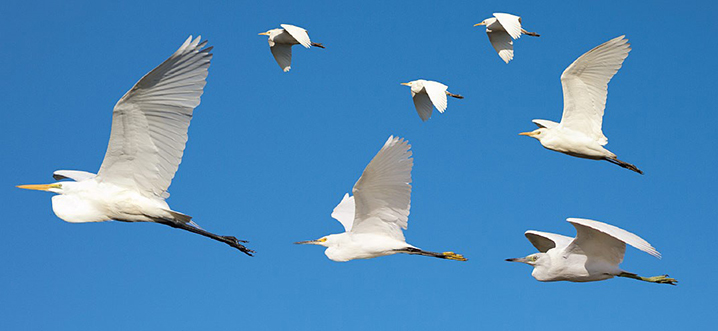 Four heron species in flight: Great Egret (left); Snowy Egret (lower middle); Little Blue Heron (lower right); Cattle Egret (upper right, and trio of smaller birds)