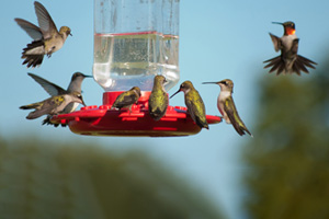 Multiple Hummingbirds at feeder, some eating nectar, some hovering waiting their turn
