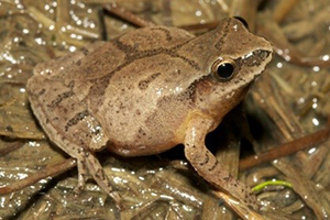 closeup of a spring peeper